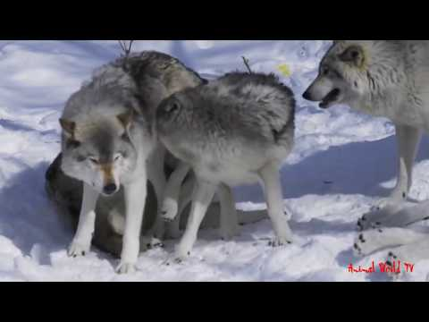 Wild Wolves Mating Moments Huge Gray Wolf...