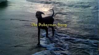 A Gang dos Dobermans - The Doberman Gang - Apollo treinado por Cesar Millan