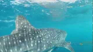 Exmouth Diving Centre Whale Shark Tour