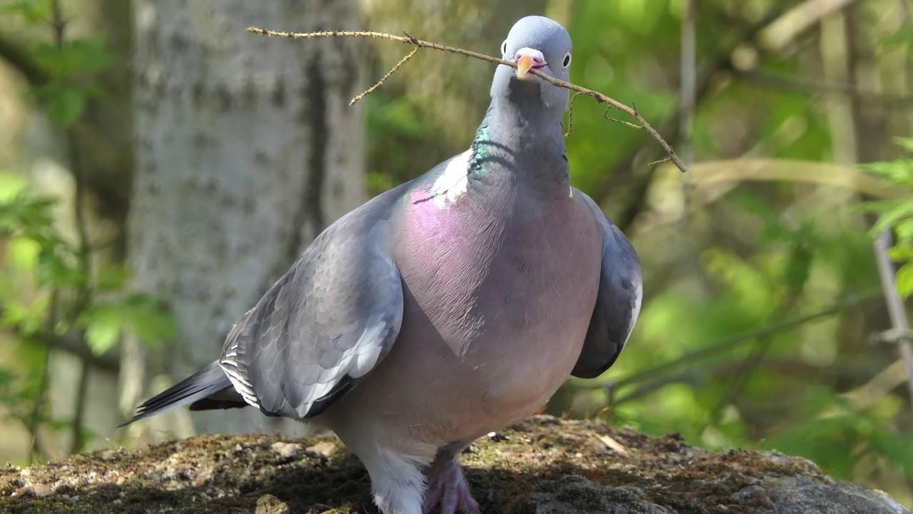 Große Tauben
