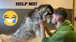 Stubborn Husky Does Everything She Can To Avoid Bathtime!! [FUNNIEST REACTION EVER!!]