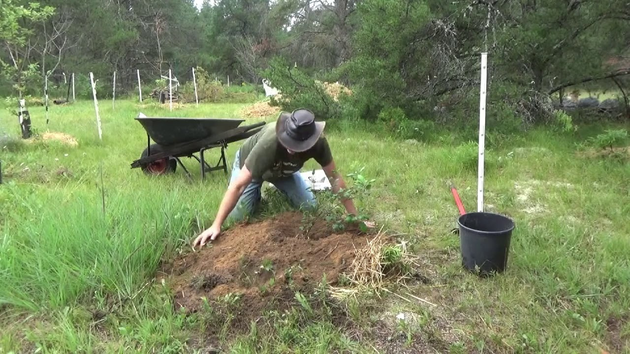 Planting Apple Trees I Got From Root Suckers On A Larger Tree