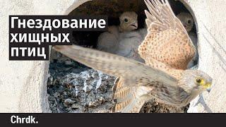 Гнездование хищных птиц