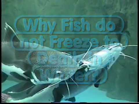 Why Fish Do Not Freeze In Winter