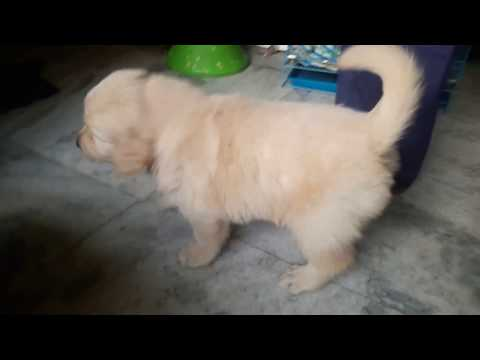 Show Quality GOLDEN RETRIEVER Dogs Pets sale At ~GUWAHATI