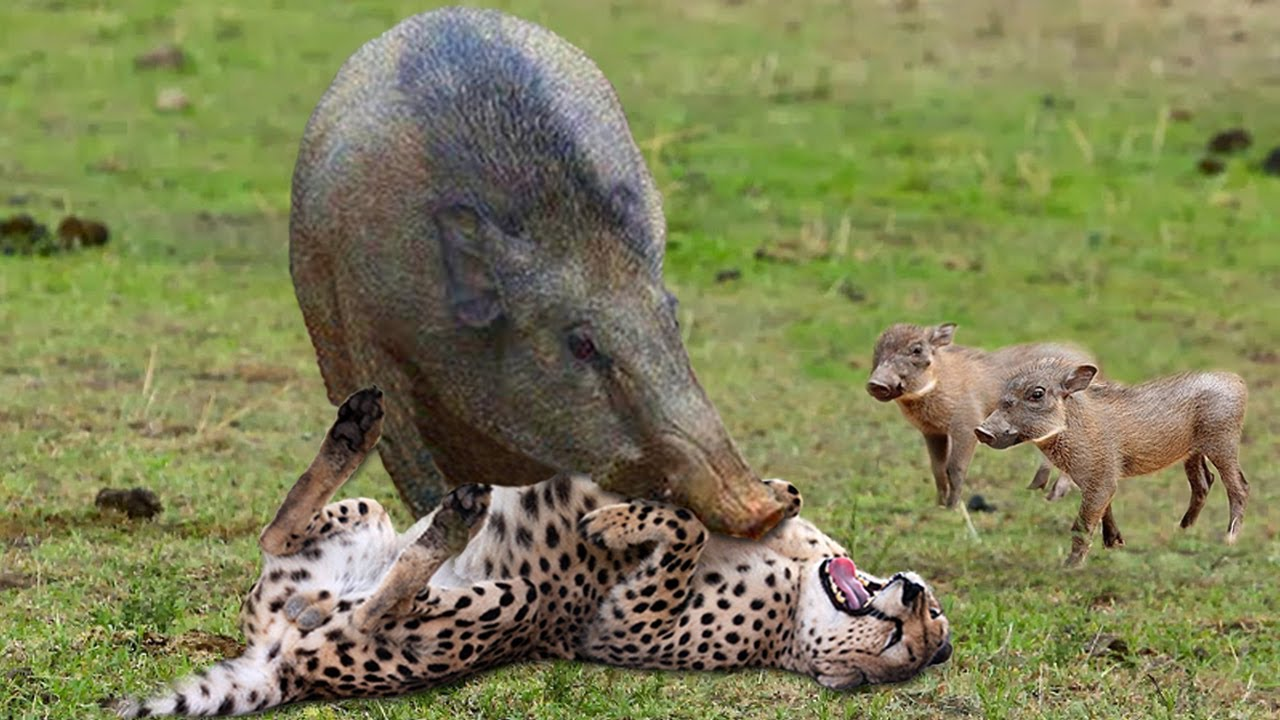 African Wildlife In Action! Warthog Tossing Leopard To The Air To Save Baby   Cheetah vs Wild Boar