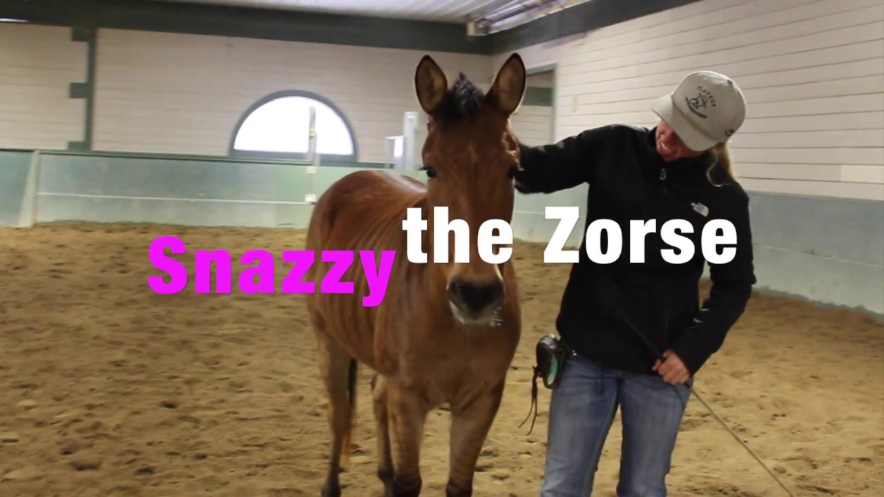 Zorse For Sale >> Snazzy The Zorse