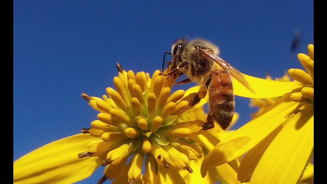 Plants And Flowers Honey Bees Pollinate   YouTube