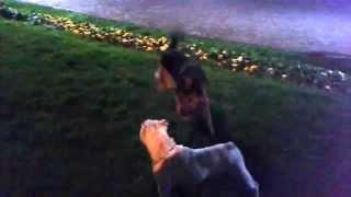 English Bulldog Vs German Shepherd