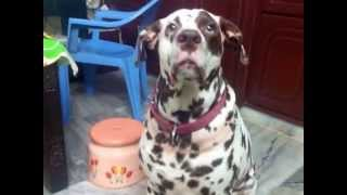 Funny And Cute Dalmatian Crazy For Food =))