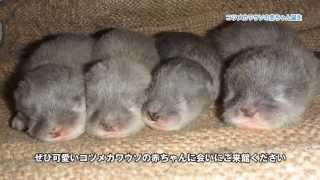 コツメカワウソの赤ちゃんが 4頭誕生しました!
