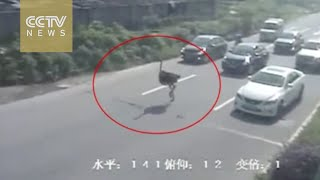Ostrich takes to the road in doomed bid for freedom