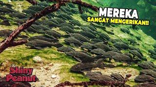 Invasi Ikan Sapu-Sapu Ternyata Sangat Berbahaya Buat Lingkungan