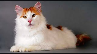 INTERESTING FACTS ABOUT THE TURKISH VAN