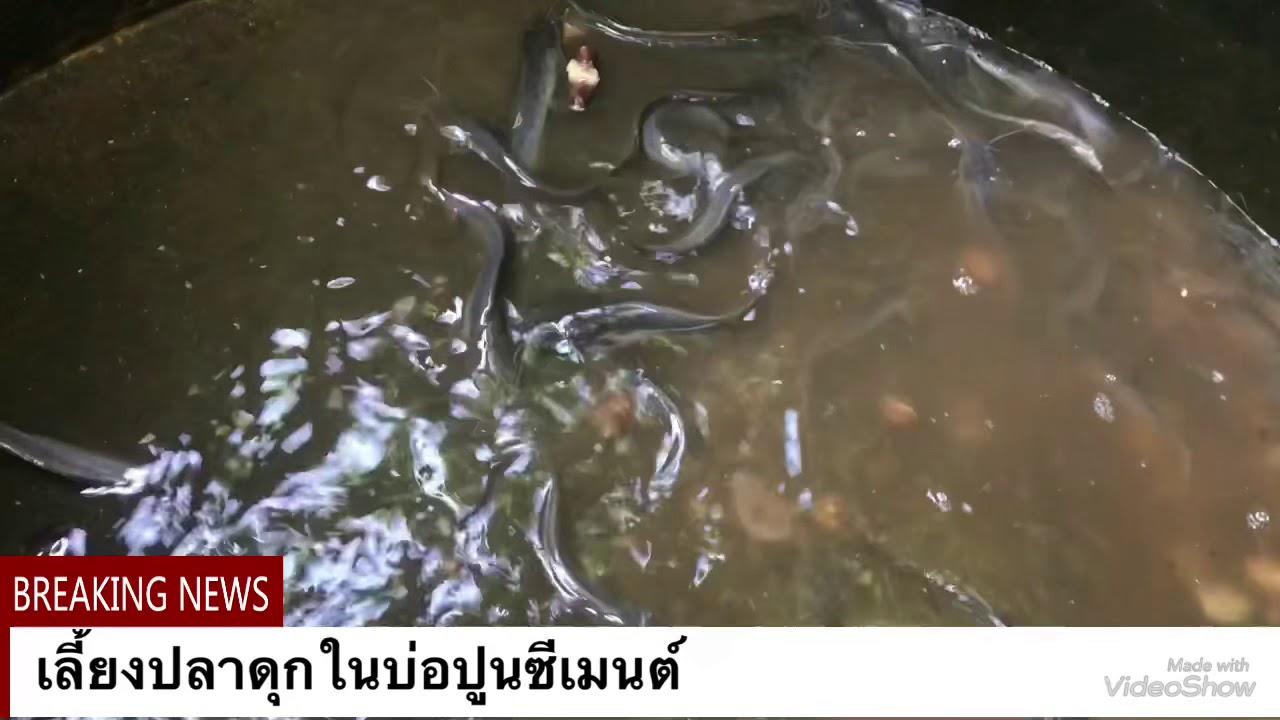 เลี้ยงปลาดุกในบ่อซีเมนต์