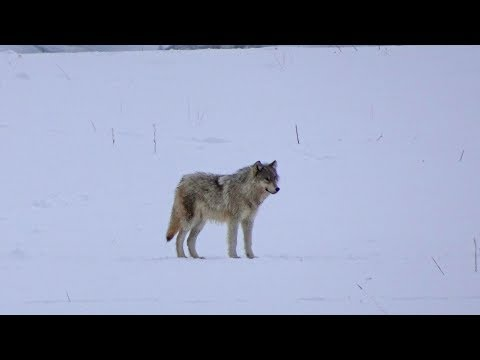 Yellowstone Wolves 2018