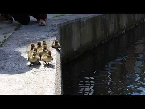 Road to canal: urban duck family head for water in London.