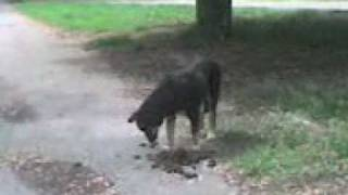 Собака ест говно!