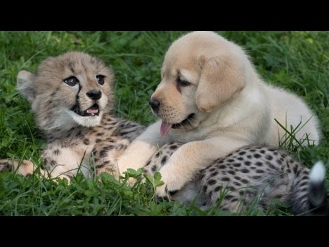 cute cheetah cub actually picks puppy to help him recover from