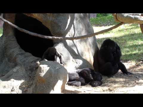 Western Lowland BABY Gorilla Playing at the Atlanta Zoo