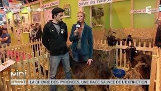ANIMAUX : La chèvre des Pyrénées, une race sauvée de l'extinction