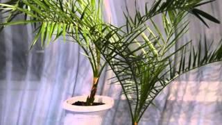 Финиковая пальма уход.Домашняя финиковая пальма уход(, 2016-05-05T10:33:49.000Z)