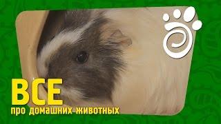 Ангорская Морская Свинка (часть Первая). Все О Домашних Животных