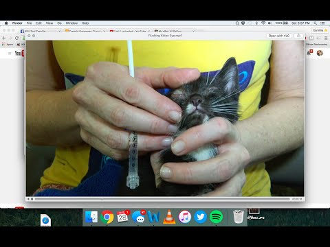How to clean and flush an infected kitten or cat eye