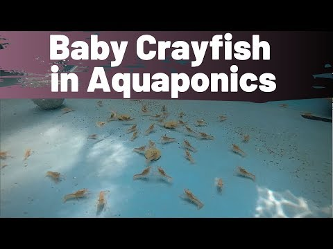 Baby crayfish in aquaponics- Crayfish for aquaponics part 4 – (hybrid aquaponic system)