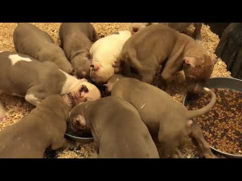 What we feed our 7 week American bully puppies