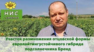 Семена гибрида подсолнечника под евролайтинг - Бренд от Научного института селекции (г.Николаев)