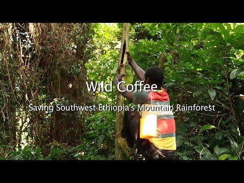 Wild Coffee - Saving Southwest Ethiopia's Mountain Rainforest WCC-PFM Project