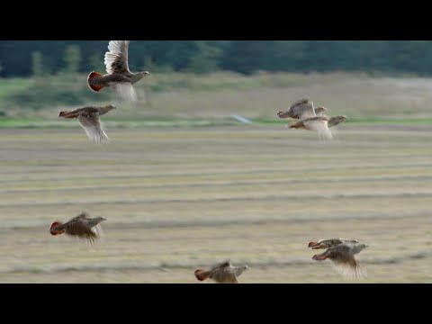 Chasse perdrix au maroc 2019-2020 | Partridge hunting with english pointer dogs – Un super moment