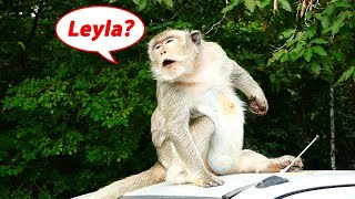 Leyla where you ? Monkey cony Missing her Group