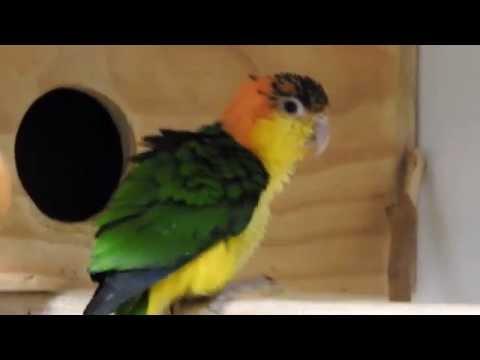 White bellied caique parrot photobomb