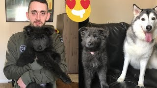 THE CUTEST PUPPY IN THE WORLD???!! [RARE BLUE GERMAN SHEPARD!]
