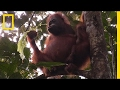 Orangutans Nurse Their Young For Much Longer Than You'd Think | National Geographic