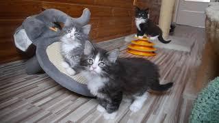 Норвежские лесные котята Артур, Алисия, Алана, Аврора, fashionpeak.ru
