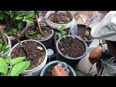How to grafting mango tree after 45 days ក្រោយតមែកកែវល្មៀត45 ថ្ងៃ