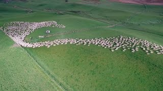 Mesmerising Mass Sheep Herding