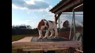 Все породы собак.Английская Енотовая Гончая (English Coonhound)