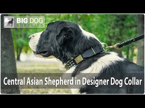 Central Asian Shepherd Dog looks Gorgeous in Leather Dog Collar with Decor