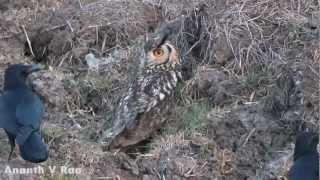 Crows Harassing Eagle Owl Thumbnail