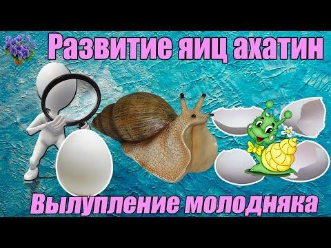 Инкубация  яиц улиток ахатин. Вылупление молодняка . Период от кладки яиц до вылупления улиток