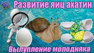 Download Инкубация  яиц улиток ахатин. Вылупление молодняка . Период от кладки яиц до вылупления улиток Mp3 and Videos