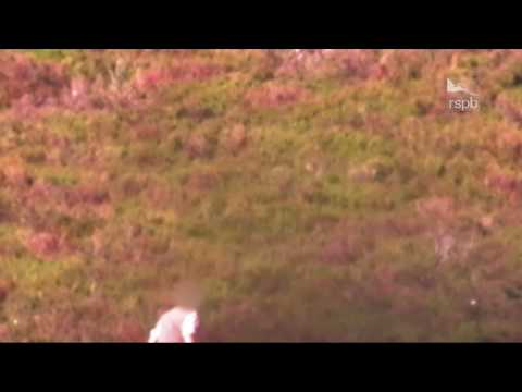 Alleged illegal killing of a protected Hen Harrier