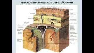 продолговатый+задний+средний мозг