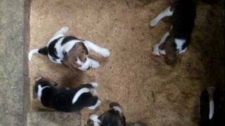 Maggies puppies playing in the new sawdust! (Nando, Angus, Sebastia...
