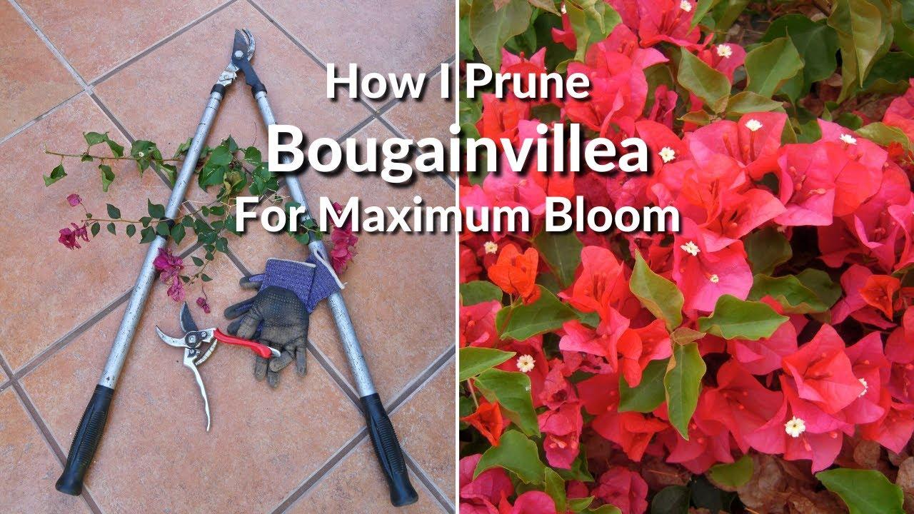 How to trim bougainvillea bonsai