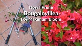 How I Prune & Trim My Bougainvillea For Maximum Bloom
